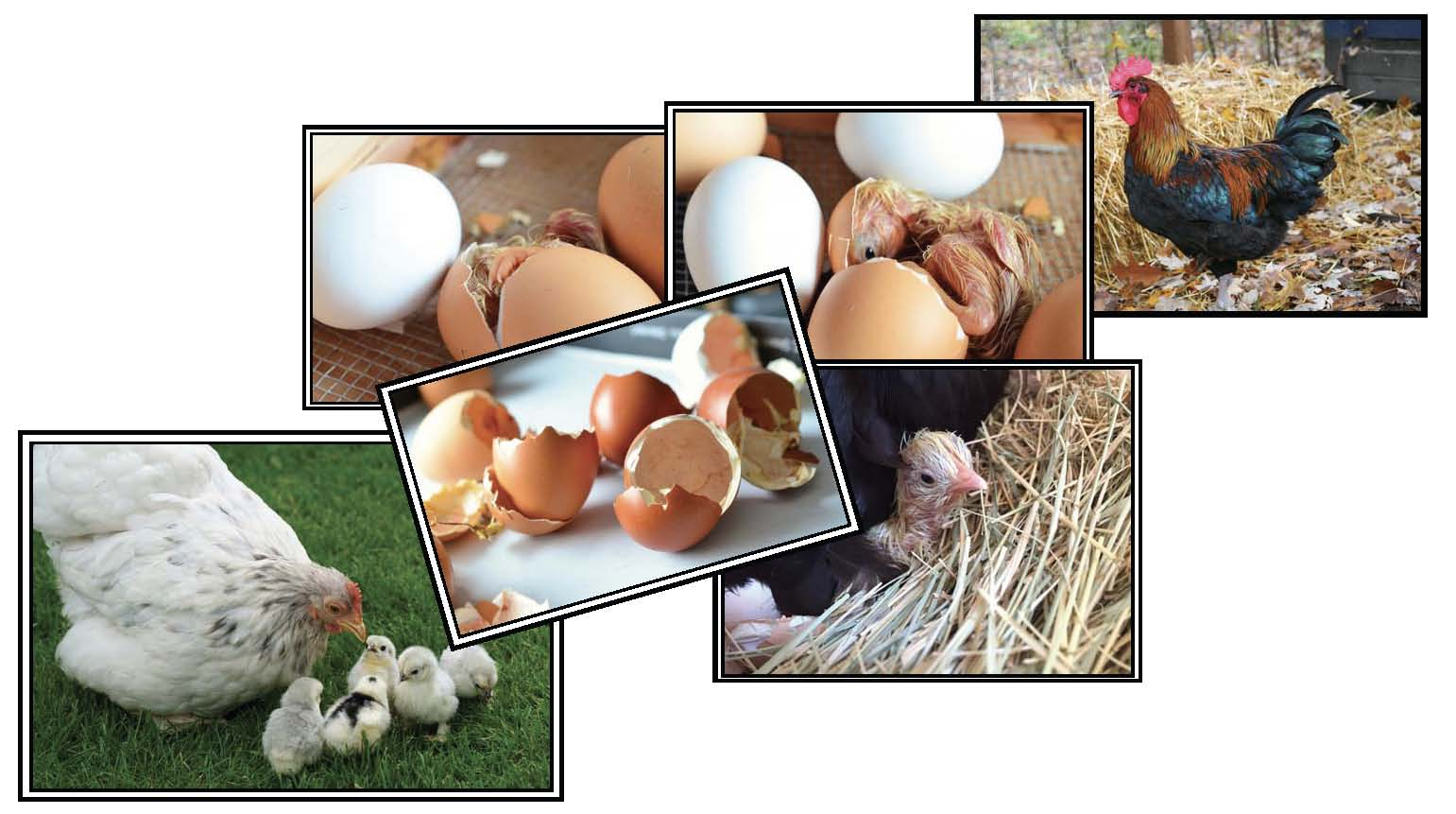 chicken life cycle activities, chicken crafts, chick hatching activities, egg experiments, chick hatching photographs, chicken games, chick games, life cycle of a chicken posters, life cycle of a chick games, life cycle of a chick crafts