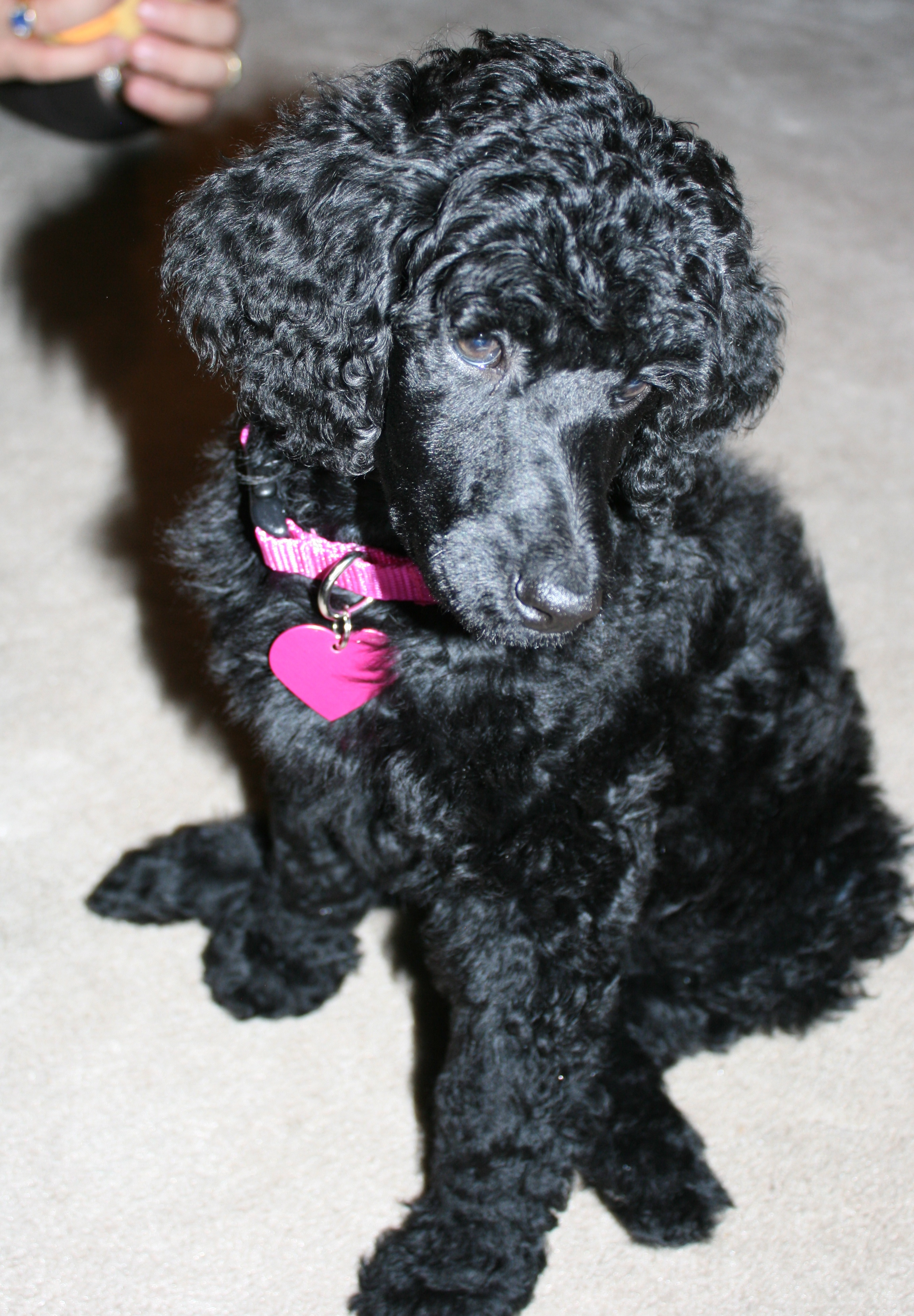 standard poodle puppy, pet parade, end of the year activities